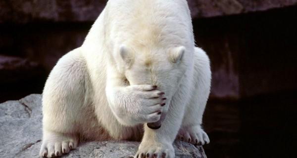 zawstydzony niedźwiedź