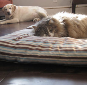 16-hilarious-photos-of-dogs-who-got-kicked-out-of-their-bed-by-cats-11